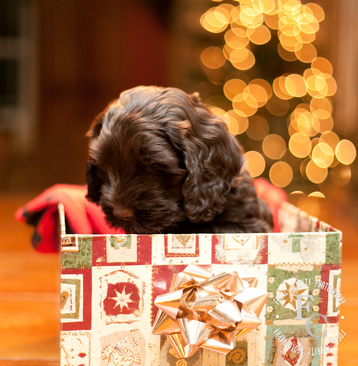 Christmas Labradoodle Puppies | Trail's End Labradoodles