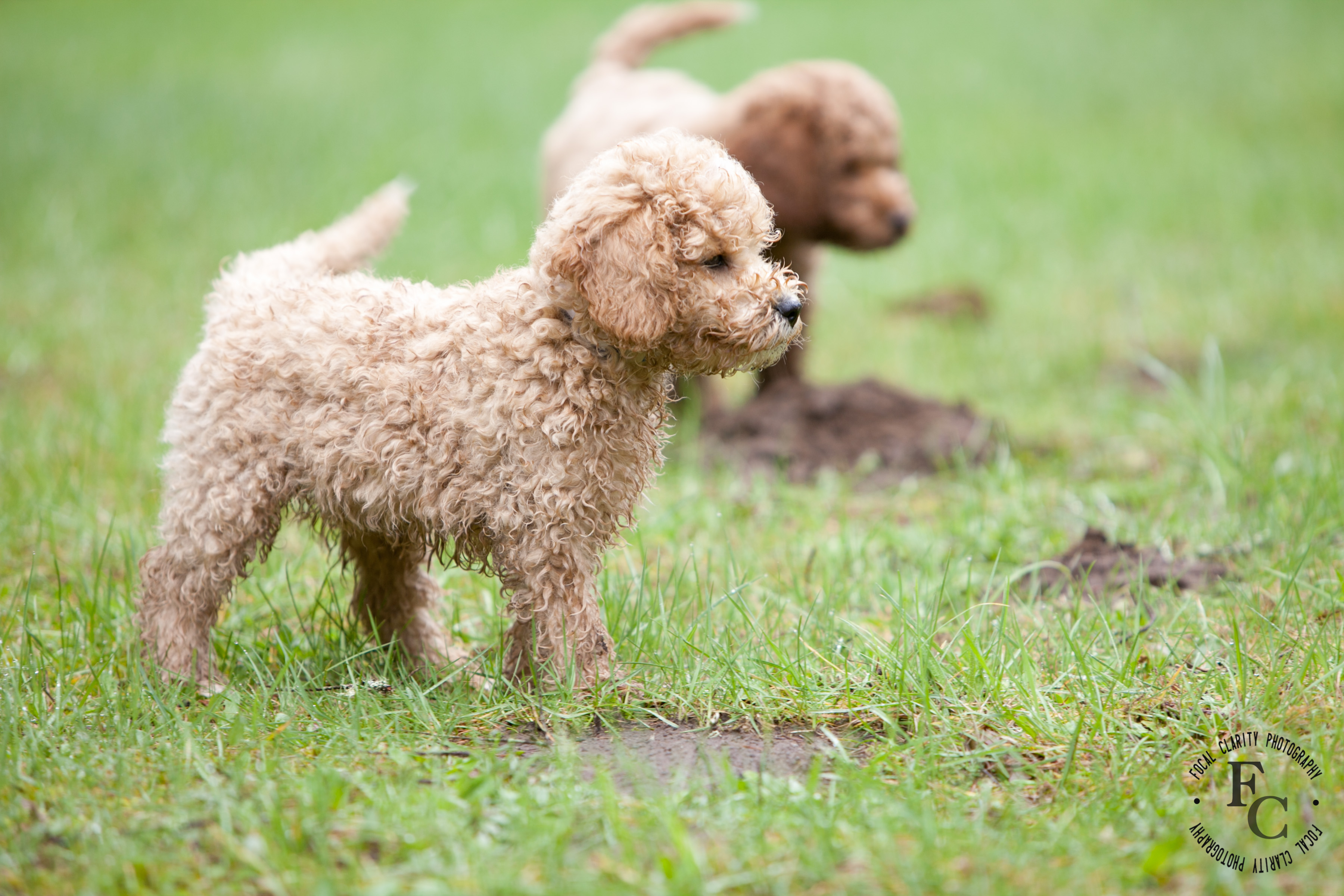 apricot red labradoodle trail s end labradoodles