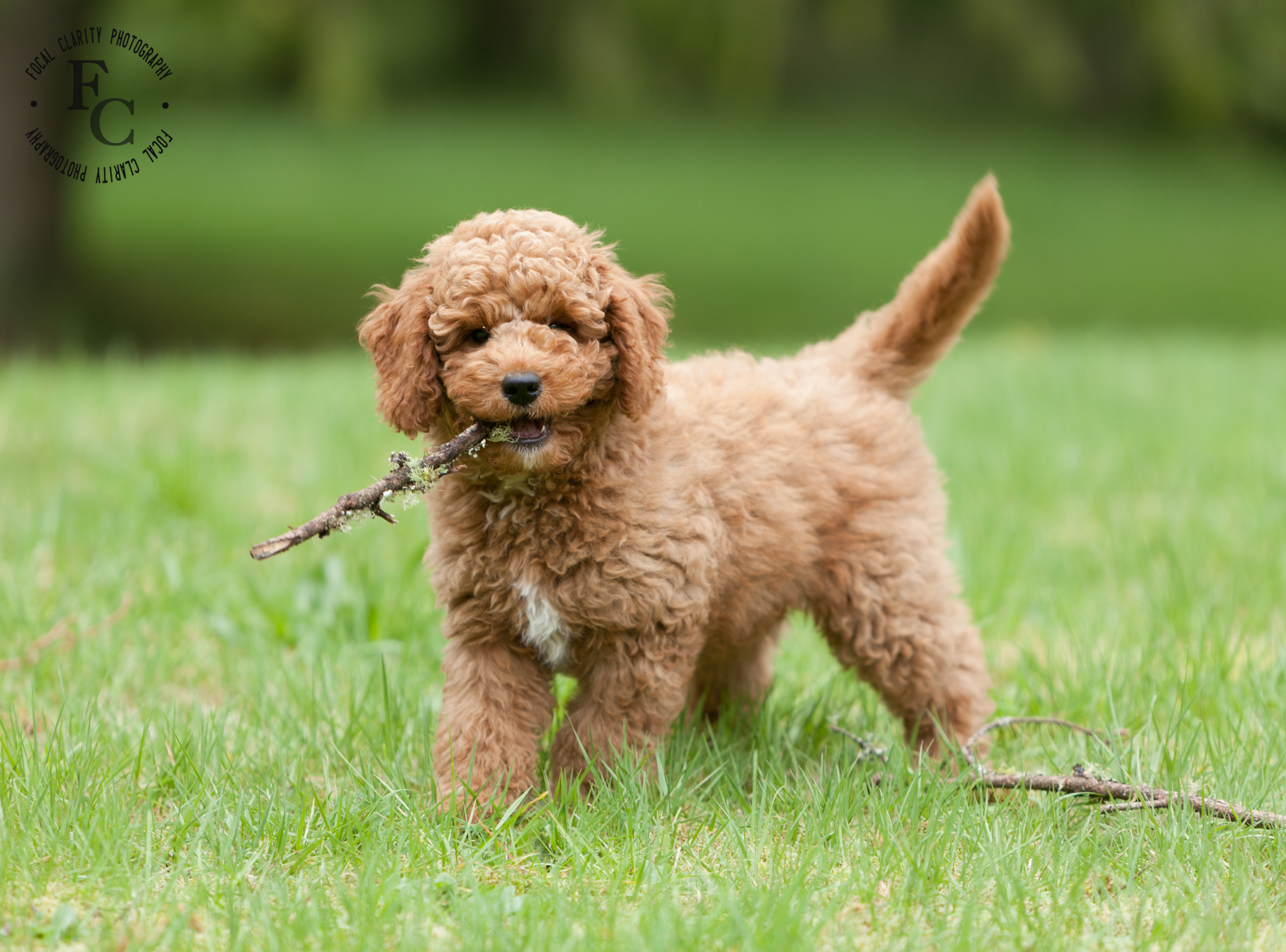 Red Australian Labradoodle Curly Trail S End Labradoodles