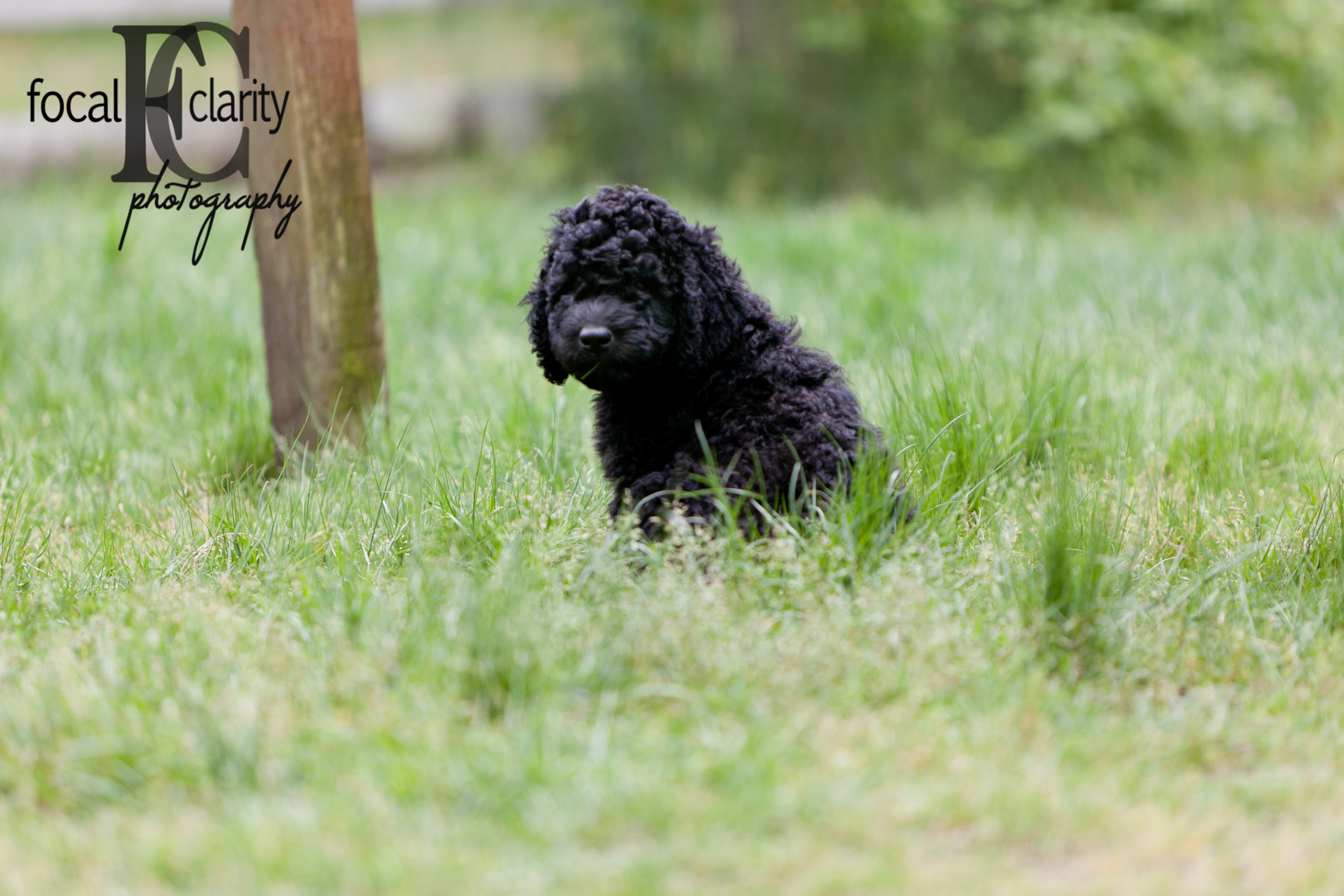 black curly labradoodle puppy trail s end labradoodles