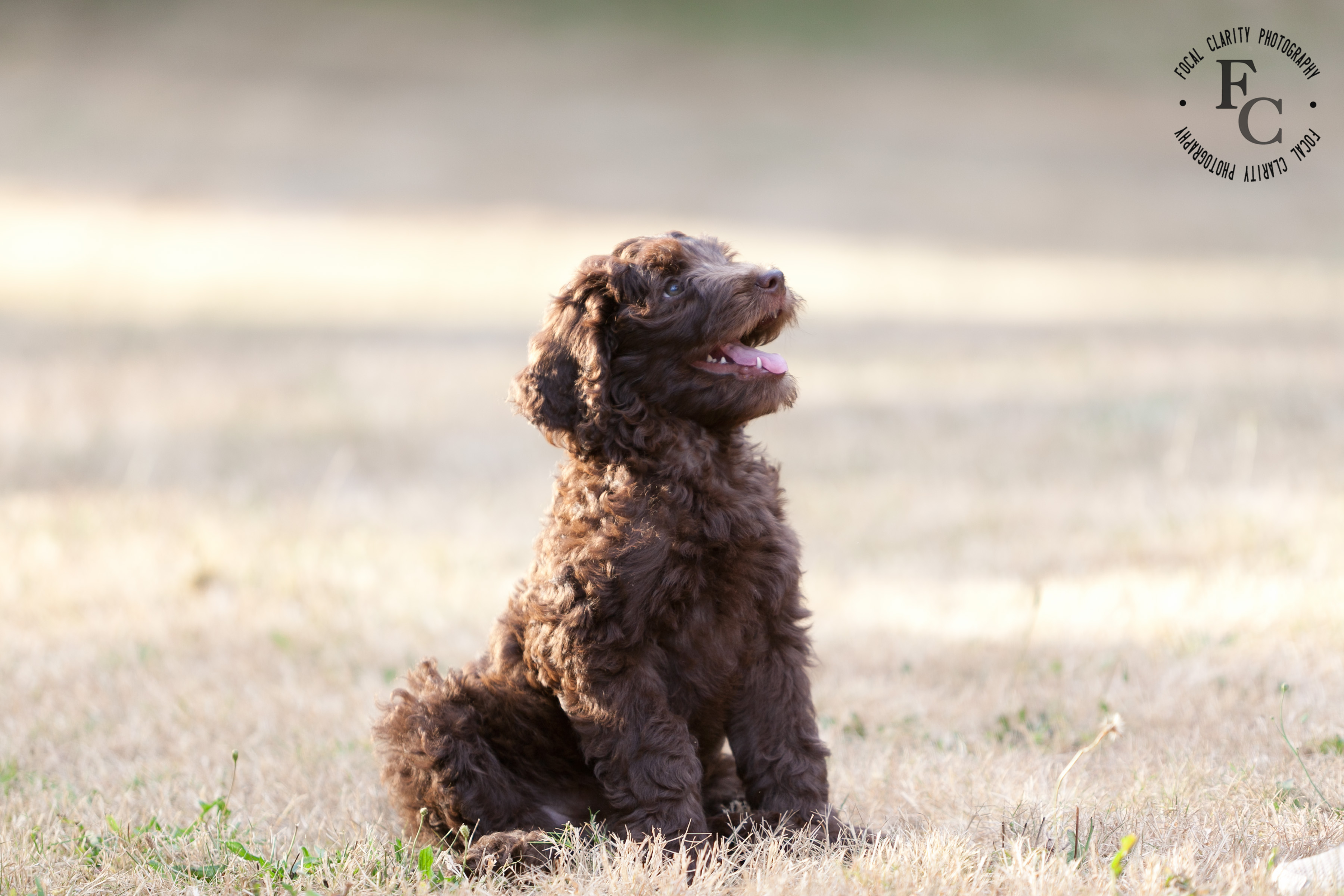 chocolate curly labradoodle host home guardian home